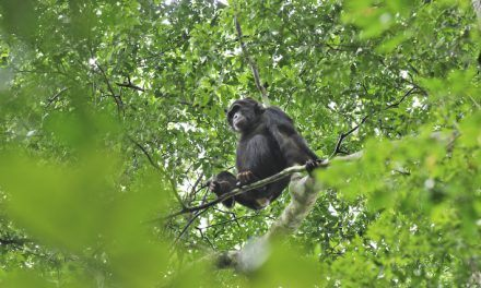 On the Kibale chimp trail – 25 years on
